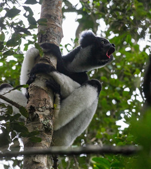 Indri belting out its call