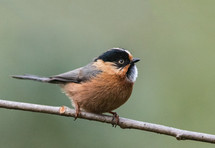 RUFOUS-FRONTED BUSHTIT