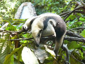 Northern Tamandua in Costa Rica