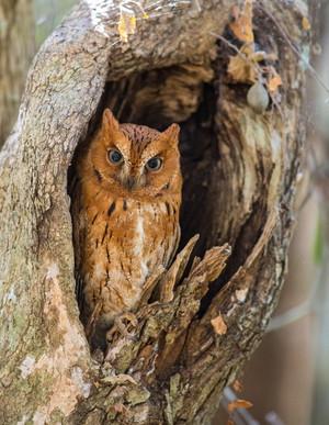 Torotoroko Scops-Owl