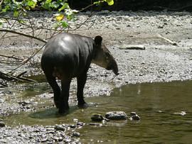 Baird's Tapir, Costa Rica