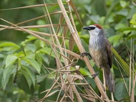 Chestnut-capped Babbler, another Chiang Mai bird