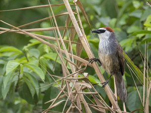 Chestnut-capped Babbler, another Chiang Mai bird