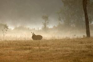 Hog Deer at Dawn