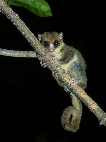 Sambirano Dwarf Lemur (1)_fb.jpg