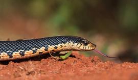 Madagscar Hog-nosed Snake
