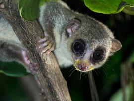 Possibly undescribed dwarf lemur at Bobangira