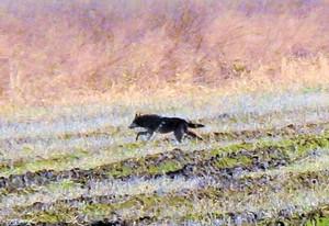 #5 Red Wolf in North Carolina
