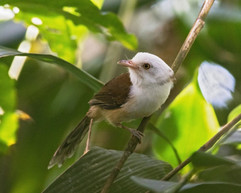 Collared Babbler, a bamboo specialist that Charley and Felix spotted