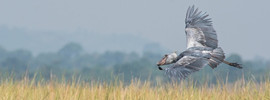 Shoebill is also spectacular in flight