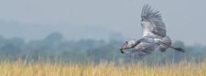 Shoebill is also spectacular in flight