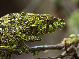 Calumma malthe, at least I think so! There are a lot of similar chameleon species at Bemenevika, and the ID of some of them is poorly understood