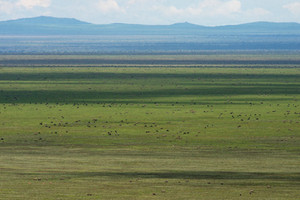 Blue Wildebeest. How many are in this photo?!