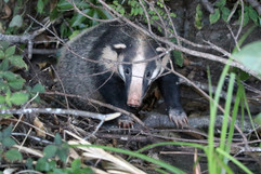 This Hog Badger walked right up to Charley!