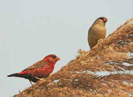 Red Avadavat, a new bird for Charley's son Felix, seen from their motorcycle!