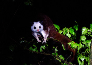 Red-and-white Flying-Squirrel, Daxueshan