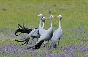 Blue Crane, South Africa's national bird