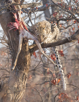Leopard with an Impala kill. The white tip of a Leopard's tail can look a lot like a bird when it's twitching around in the bush!