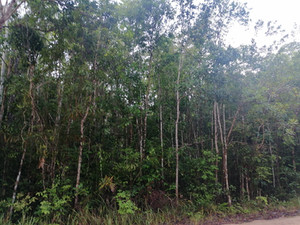 Densely-packed sand forest at Khao Phra Bang Kram WIldlife Sanctuary where I saw Moustached Hawk-Cuckoo