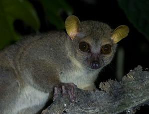 Northern Giant Mouse-Lemur near Ambanja