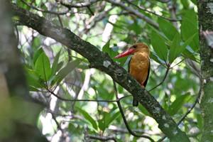 Brown-winged Kingfisher