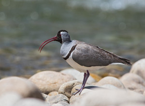 Ibisbill, a river specialist