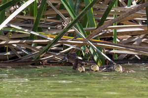 Hope for the future: Madagascar Pochard female and ducklings