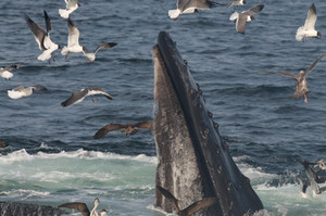 Humpback Whale with Cory's Shearwater, Laughing Gull, and Herring Gull