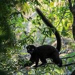 Blue-eyed Black-Lemur male_fb.jpg