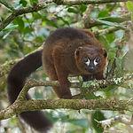 Red-bellied Lemur_fb.jpg
