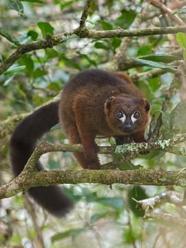 Red-bellied Lemur in Marojejy