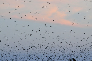 Straw-colored Fruit Bats roost in massive numbers in Kasanka