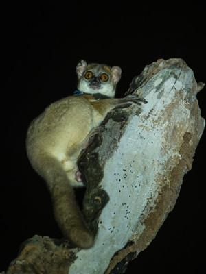 Northern Sportive-Lemur, a new beast for Ken