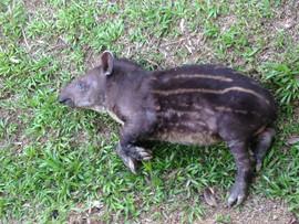 Tame young Lowland Tapir in Peru