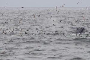 Humback Whale and seabird feeding frenzy