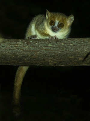 Northern Mouse Lemur is common around the camp