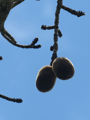 Perrier's Baobab fruits