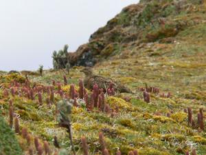 Rufous-bellied Seedsnipe at Papallacta Pass