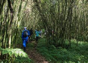 Tracking Mountain Gorillas into bamboo