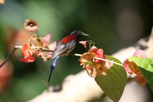 Black-throated Sunbirds were common