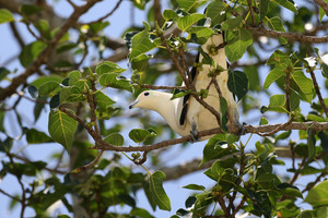 Pied Imperial Pigeon on Koh Similan