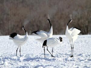 Red-crowned Cranes in Hokkaido