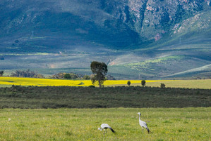 Blue Cranes and mountains