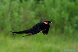 Displaying Long-tailed Widowbird