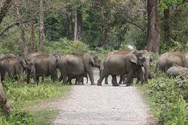 Asian Elephant in Kaziranga, India