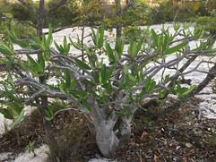 Pachypodium at Bongalava (Pachypodium rosulatum)