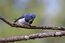 Ultramarine Flycatcher at Doi Lang. This migrant bird has been returning to the same tree for years!
