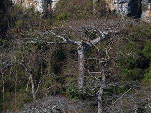 The locally endemic baobab: Adansonia suarezensis