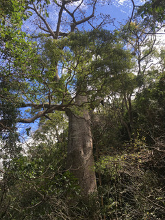 Perrier's Baobab, one of the rarest plants on Earth