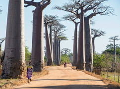 Baobabs in the west